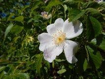 臀部的白花在开花上升了 库存图片