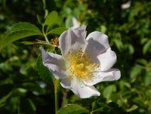 臀部的白花在开花上升了 库存照片