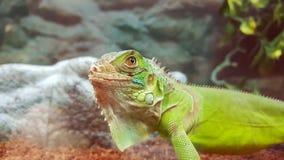 自傲蜥蜴在宠物商店 免版税库存照片