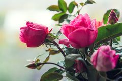 自创玫瑰 在一个水晶花瓶的花束在一个木窗口 安静和舒适村庄生活,从事园艺和environmen的概念 库存图片