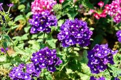 自创紫色花 库存图片