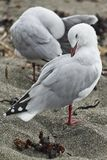 自夸他们的在沙子海滩的对海鸥羽毛 免版税库存图片
