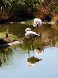 自夸反映二水的火鸟 免版税库存图片
