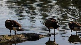 自夸和游泳在池塘1920x1080的四只加拿大鹅高定义电影  股票视频