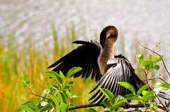 自夸在沼泽地的母美洲蛇鸟 免版税库存照片