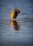 自夸在起波纹的母野鸭鸭子大海 免版税库存图片