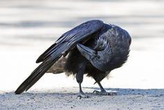自夸在阿尔根金族公园,加拿大的共同的掠夺乌鸦座corax 免版税图库摄影