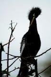 自夸在Wakodahatchee沼泽地的母美洲蛇鸟 免版税图库摄影