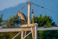 自夸大灰色的苍鹭在金属横梁栖息 库存图片