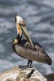自夸它的在岩石的布朗鹈鹕羽毛忽略Pa 免版税库存照片