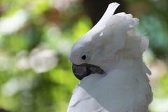 自夸它的羽毛的一只白色美冠鹦鹉的特写镜头 免版税图库摄影