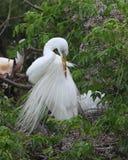 自夸它的羽毛的伟大的白鹭 库存照片