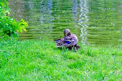 自夸它的羽毛的母亲鸭子,当它的两小鸭子睡觉舒适在她的翼下,在绿草,在湖时边缘  免版税图库摄影