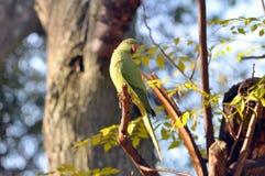 自夸它的羽毛的Roseringed长尾小鹦鹉 库存图片