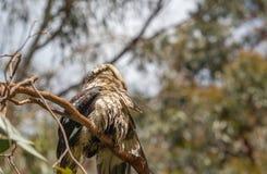 自夸的湿Kookaburra延伸的翼 免版税库存图片