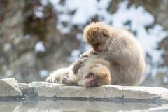 自夸的短尾猿 库存图片