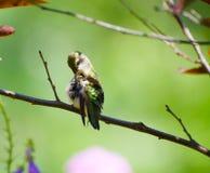 自夸红宝石喉头的蜂鸟 库存照片