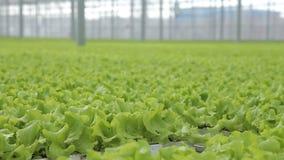 自工业温室,莴苣叶子增长水耕 股票视频