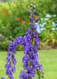 自已播种了典雅的毛地黄属植物头状花序在中间夏天反对灌木和草坪背景 库存照片
