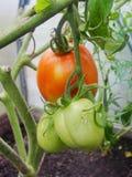 自庭院温室,在布什植物的分支的成熟的绿色蕃茄 tomate在庭院里 免版税库存图片