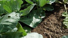 自温室增长的圆白菜的充分的hd决议 在床上的很多圆白菜 种田庭院的eco 股票视频