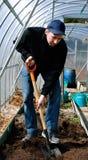 自温室开掘与一把铁锹的人土壤在gardenbed的 免版税库存照片