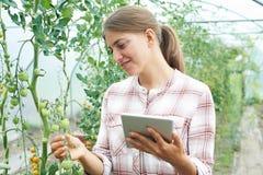 自温室研究西红柿收获的女性科学家 库存照片