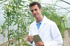 自温室研究西红柿收获的男性科学家 免版税库存图片