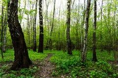 自然一个绿色森林密林的风景视图春季的与绿色树和叶子 平安的平静的室外风景 库存图片