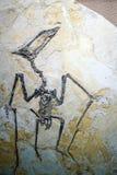 自然上海博物馆的pterosaur化石  免版税图库摄影