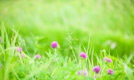 自然与三叶草花的夏天背景 库存图片