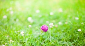 自然与三叶草花的夏天背景 库存照片