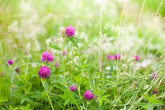 自然与三叶草花的夏天背景 免版税库存图片