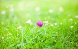 自然与三叶草花的夏天背景 免版税图库摄影
