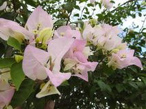 自然九重葛藤的白花,美妙地 免版税库存照片