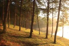自然云杉的光束森林地 免版税库存照片