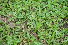 自然亚洲绿草特写镜头早晨 库存照片