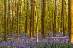 自然会开蓝色钟形花的草地毯 免版税库存图片