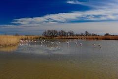 自然保护,法国 夏天太阳 更加伟大的火鸟, Phoenicopterus ruber,好的桃红色鸟群,跳舞在水中,动物 免版税图库摄影