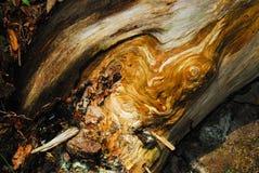 自然加拿大Burled木头在森林里 图库摄影