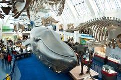 自然历史博物馆蓝色区域  免版税库存图片