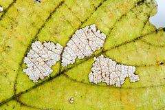 自然可变性秋天菩提树叶子纹理最基本的样式有机老化过程,宏观看法摄影 免版税库存图片