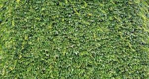 自然叶子的墙壁在庭院里 免版税库存图片