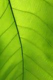 自然叶子绿色胞状结构纹理  库存照片