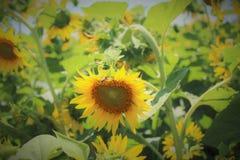 自然向日葵 库存图片