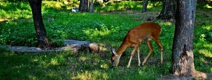 自然和鹿 免版税库存图片