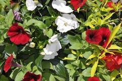 自然喇叭花在晴天夏天开花 库存照片