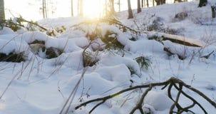 自然在冬天,用雪盖的小杉树 股票视频