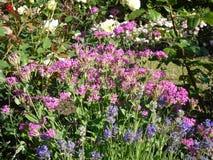 自然在城市:在一个明亮的夏天下午的紫罗兰色花,女王伊丽莎白公园,温哥华, 2017年 免版税库存图片