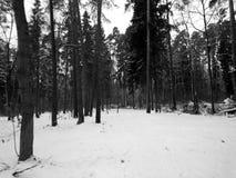 自然在森林里在一个黑白图象的冬天 库存照片